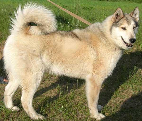Восточносибирская лайка (всл): описание породы собак с фото и видео