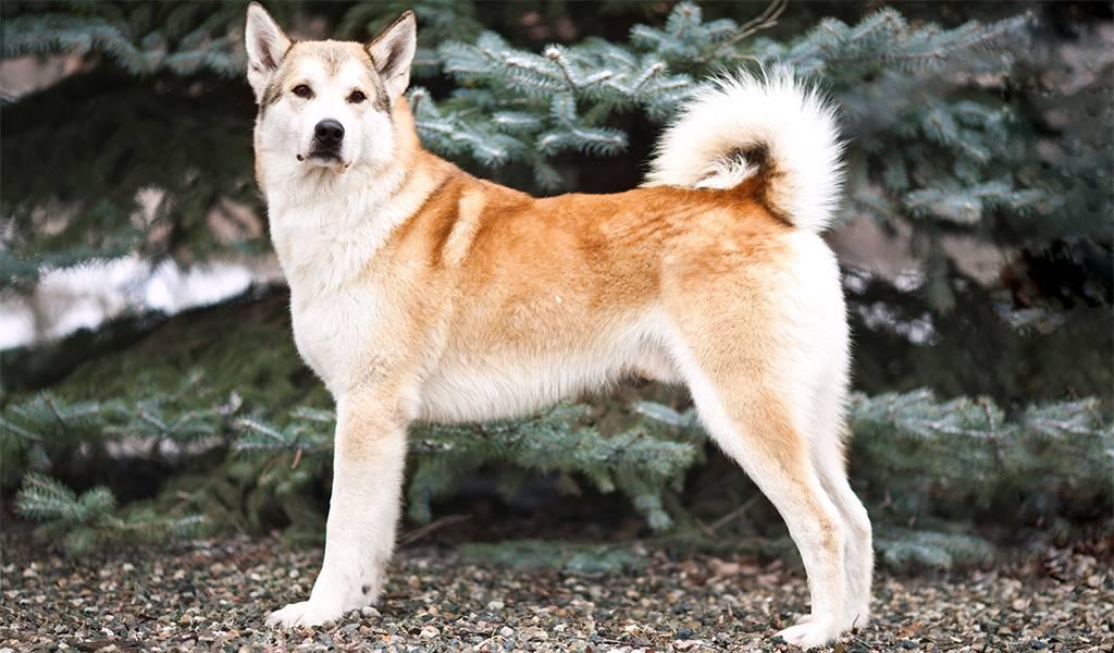 Северная красота во взгляде якутской лайки: описание и особенности ухода за породой