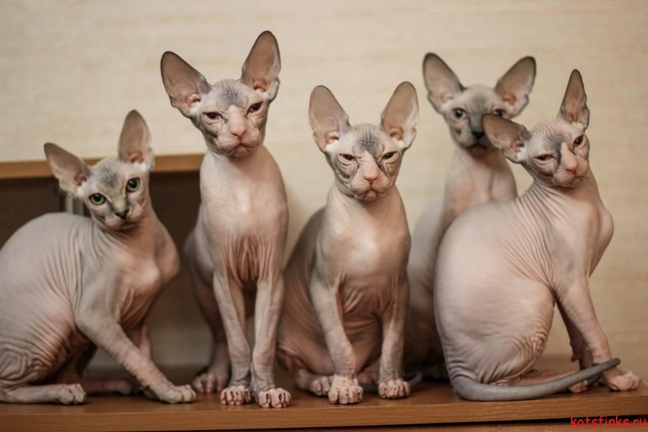 Канадский сфинкс – кошка с неординарной внешностью и любящим сердцем