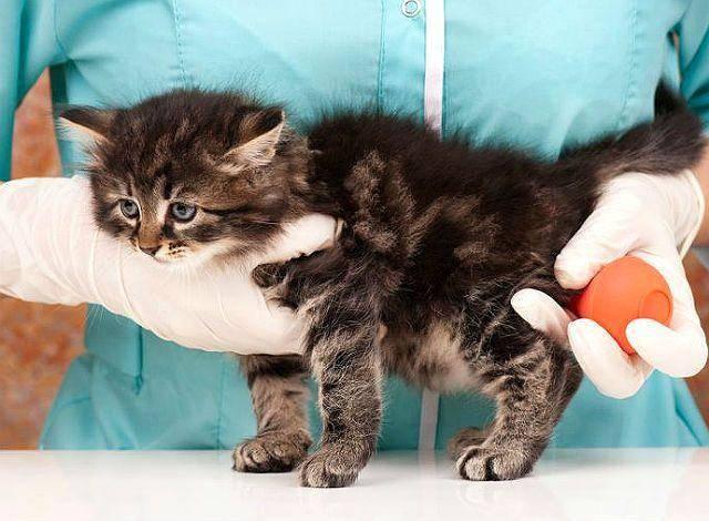Запор у кошки: лечение в домашних условиях