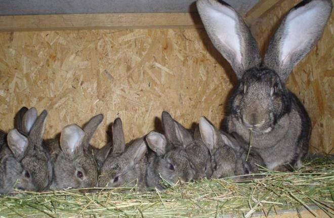 Крольчиха сделала гнездо и не рожает: причины, что делать