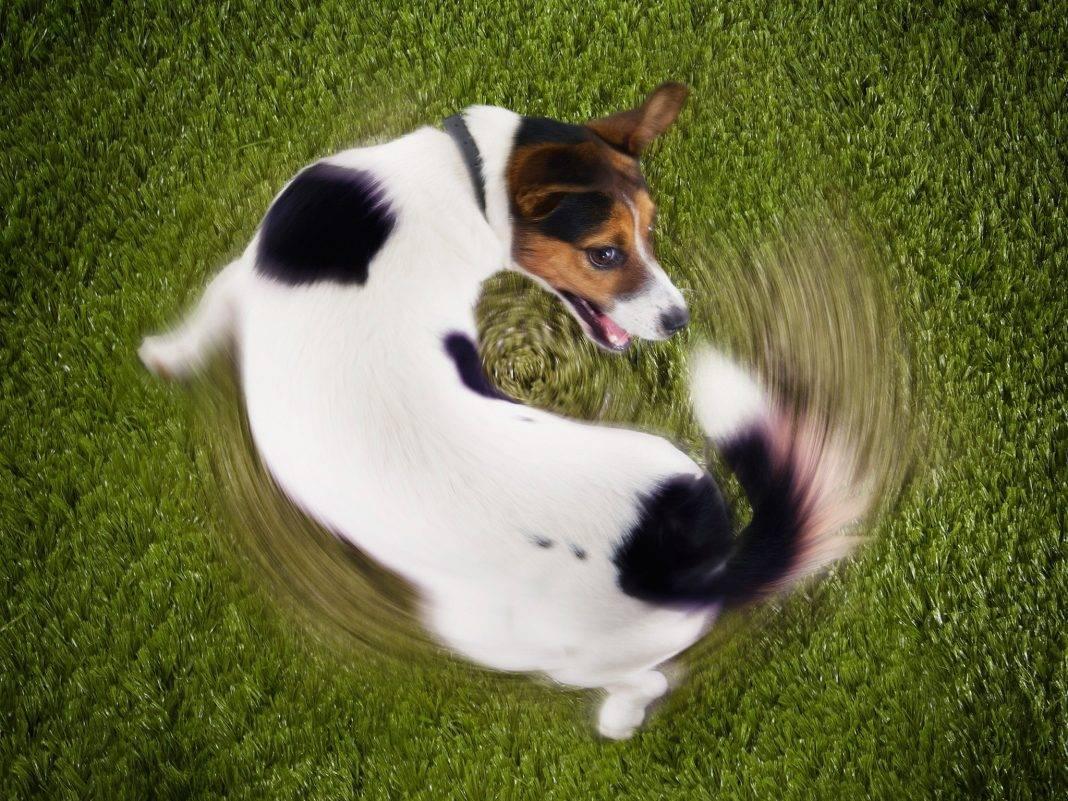 ᐉ 3 причины, почему собака бегает за своим хвостом и кусает его: что это значит и что делать - kcc-zoo.ru
