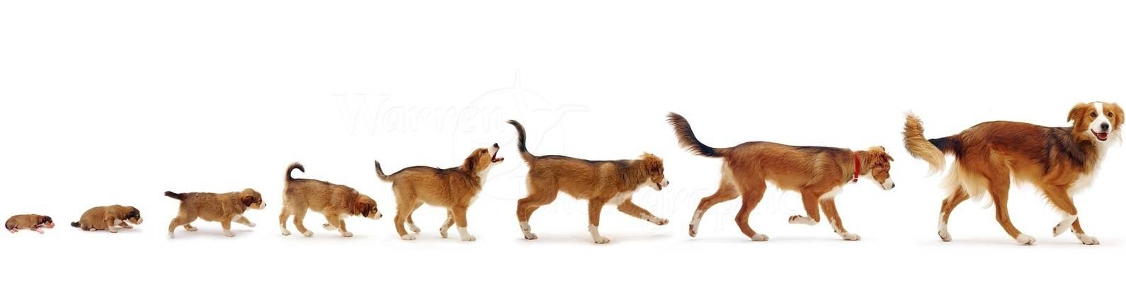 До скольки месяцев обычно продолжают расти мелкие, средние и крупные собаки