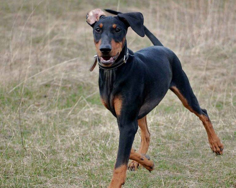 Немецкий (стандартный) пинчер: фото, видео, описание породы и её видов