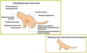 Как можно понять о скорых родах у кошки: симптоматика и внешние признаки