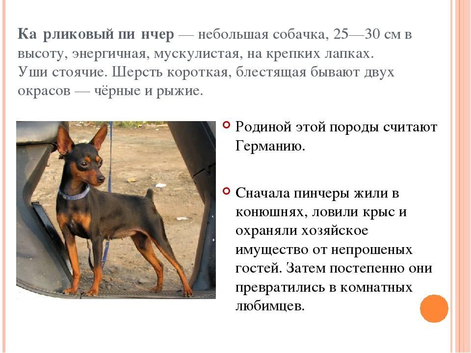 Существуют ли мини акита-ину: названия и описание карликовых пород собак