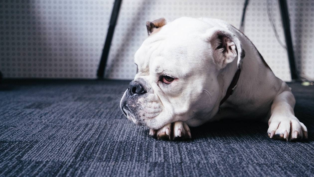 Топ – 10 самых умных пород собак в мире!