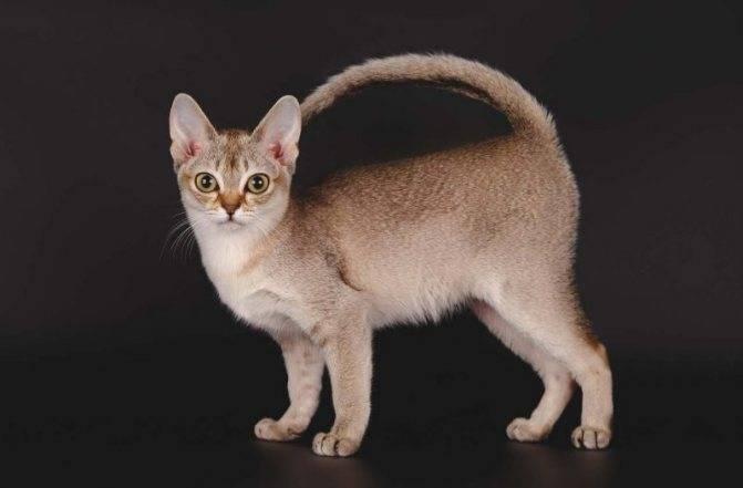 Сингапурская кошка: описание породы, характер, советы по содержанию и уходу, фото