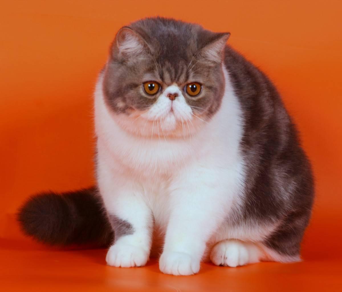 Экзотическая короткошерстная кошка: особенности породы, внешний вид и характер