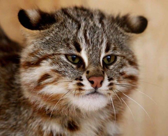 Описание амурских лесных котов: особенности дальневосточной дикой породы