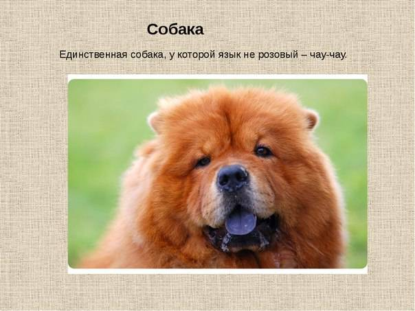 Чау-чау: описание, стандарт, характеристика, содержание собаки