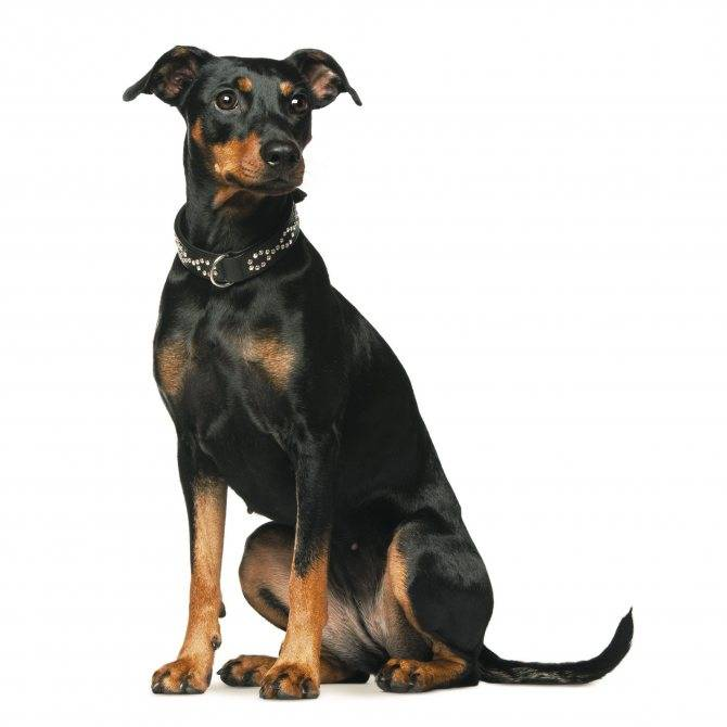 Немецкий пинчер: описание породы собак с фото и видео
