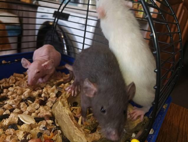 Дамбо фото: куплю крысу дамбо недорого, отдам, недорого продам крысу дамбо бесплатно (фото), здесь можно купить, продать или отдать крысу дамбо, питомник.