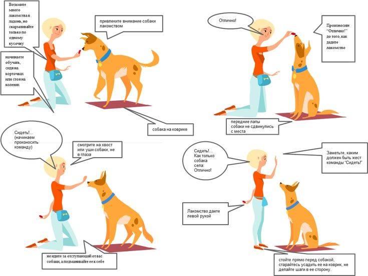 Как научить собаку команде «дай лапу» — разбираем поэтапно с указанием ошибок ⋆ собакапедия