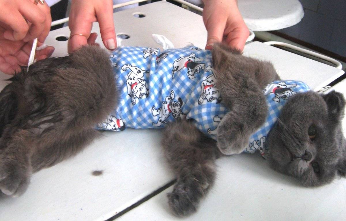 Кот после кастрации: поведение, реабилитация, уход, рекомендации - советы по реабилитации кастрированных котов