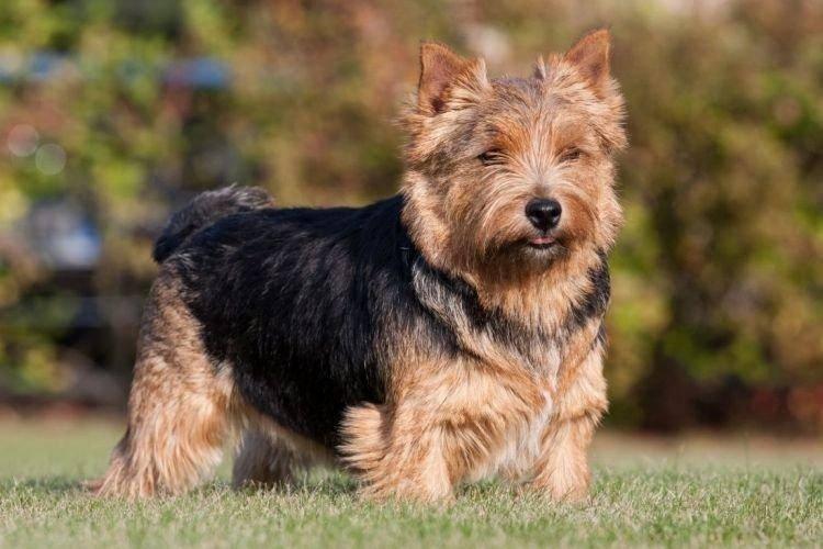 Собака норвич-терьер — умный, озорной и дружелюбный пес