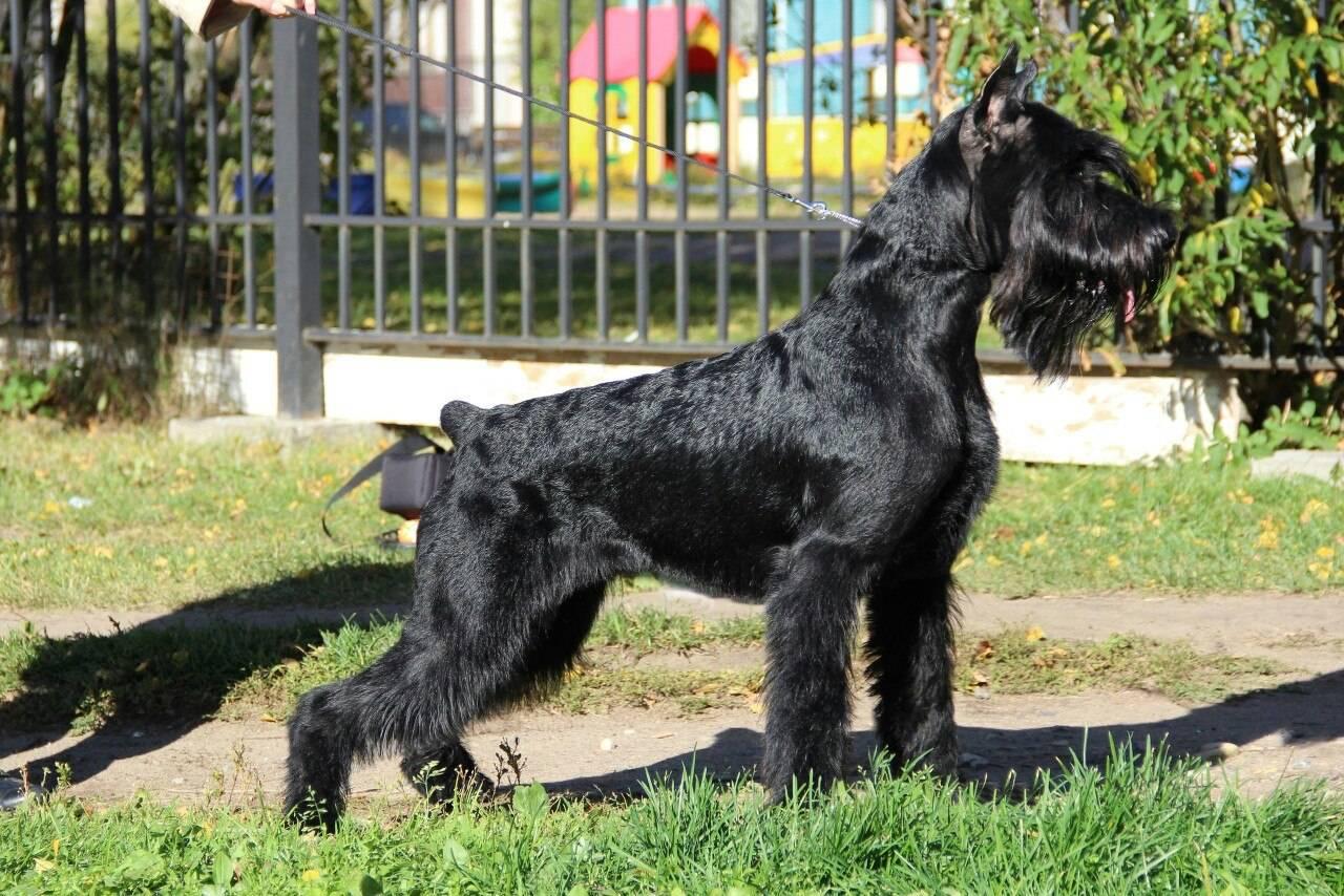 Цвергшнауцер собака. описание, особенности, уход и цена цвергшнауцера   sobakagav.ru