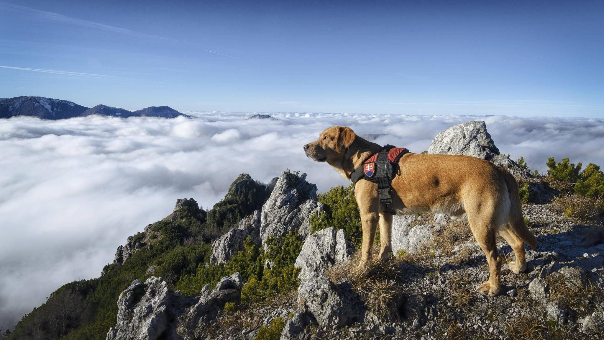 8 лучших пород собак спасателей