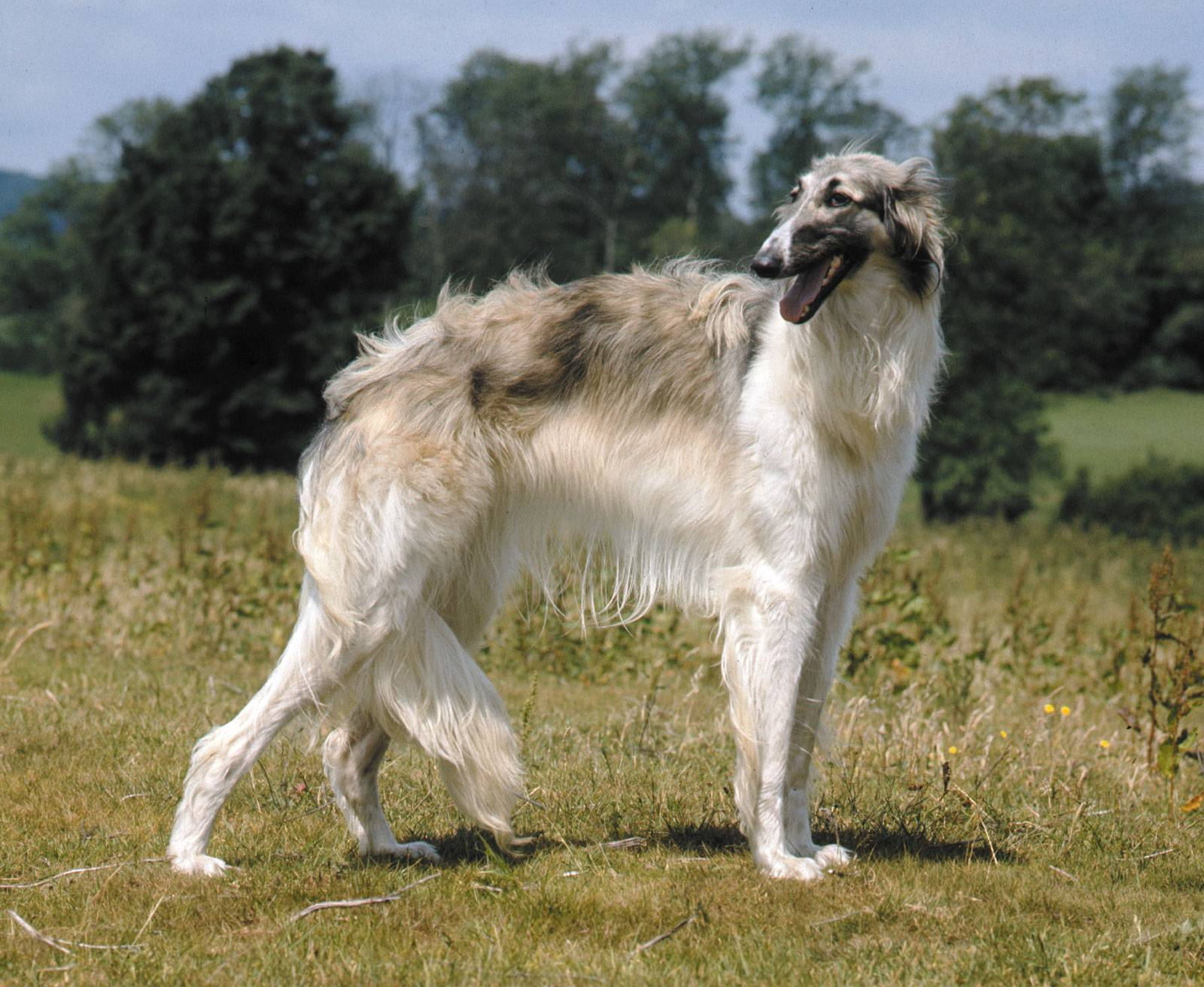 Описание породы собак русская гончая с отзывами владельцев