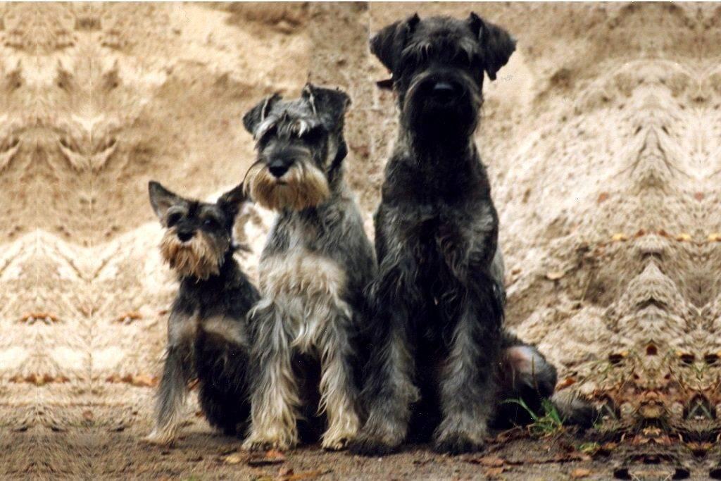 Ризеншнауцер: описание породы, стандарт, уход, выбор щенка