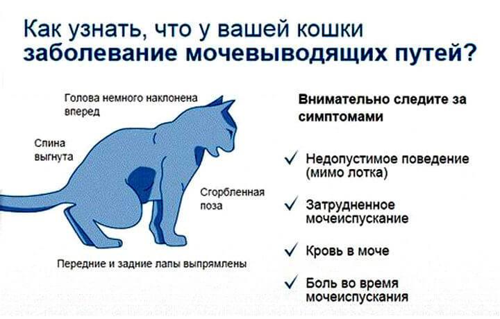 Болезни щитовидной железы у кошек: симптомы, лечение, диагностика