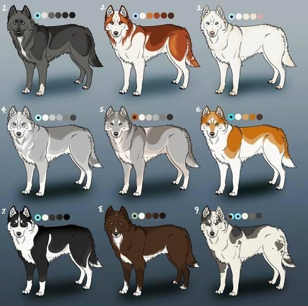 Окрасы хаски - фото с описанием: агути, белый, черный, палевый, рыжий, волчий серый и др.