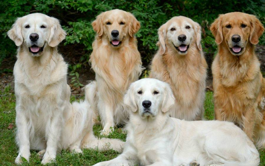 Порода собак ховаварт: описание, стандарт и отзывы владельцев