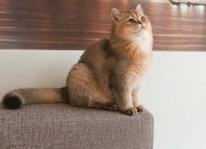 Порода кошек британская шиншилла, золотой и серебристый кот-британец: описание и уход, вязка и отзывы
