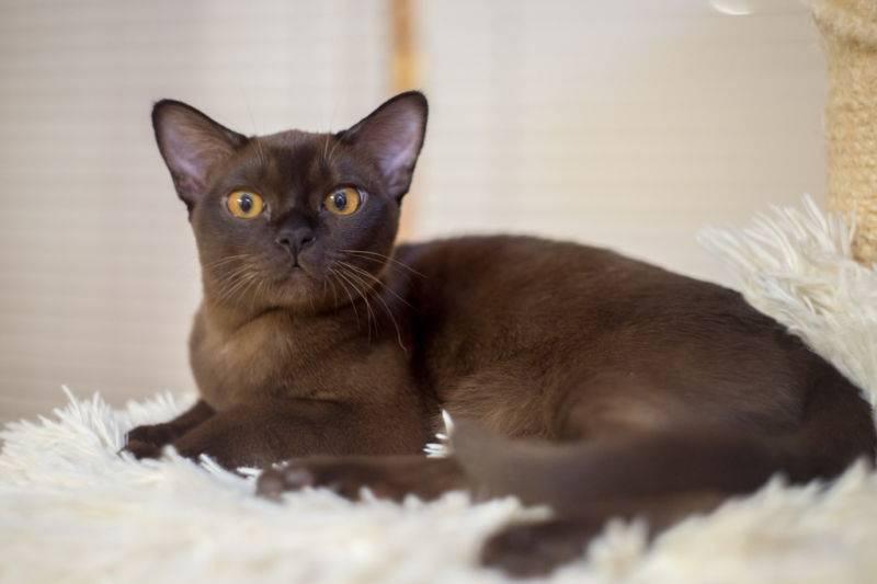 Бурманская кошка: внешний вид и характер, уход и питание, болезни, фото
