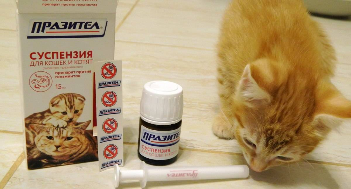 Профилактика глистов у кошек: как проводить в домашних услових