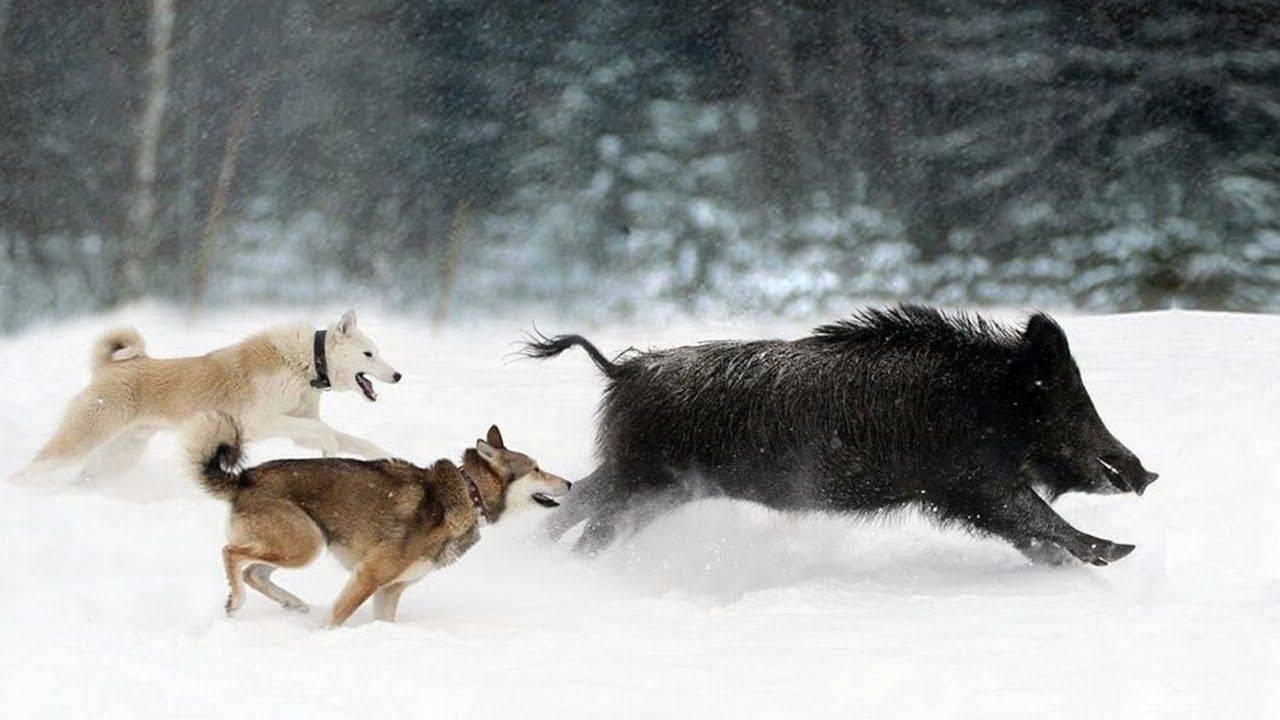 Ходовая охота на лося с лайкой