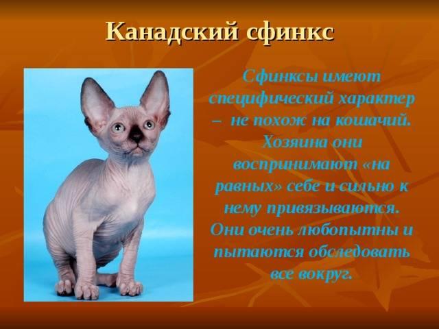 Сфинкс кошка: описание породы, внешний вид, характер лысых питомцев, уход и содержание, кормление