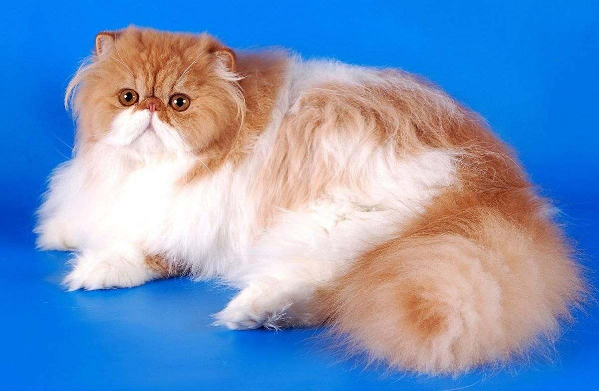 Топ-21 самых популярных пород кошек и их особенности