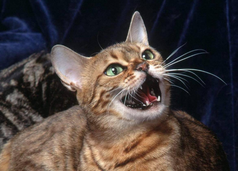 Кот орет по ночам без причины, кошка постоянно мяукает: что делать, как отучить питомца кричать?