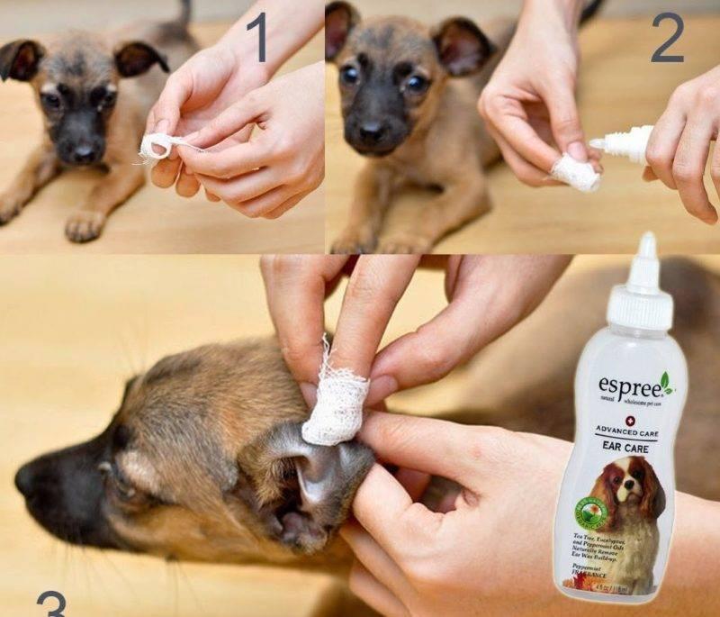 Как почистить уши собаке в домашних условиях правильно: лосьон, капли, перекись водорода и другие средства и жидкости