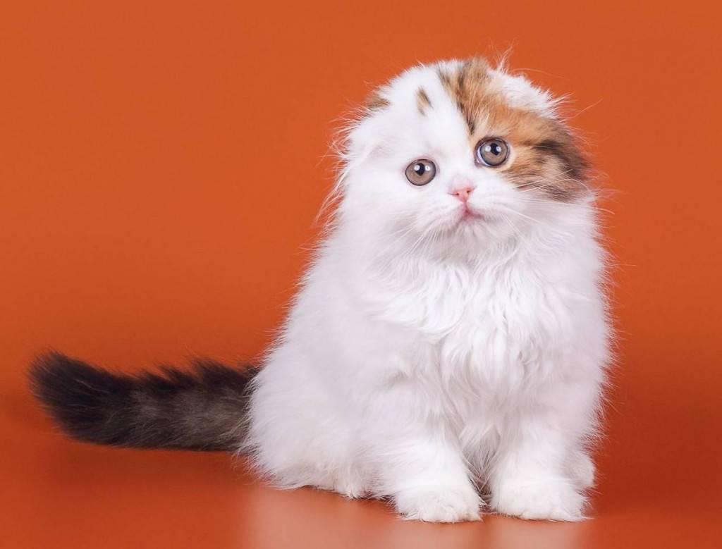 Шотландские котята: вислоухие, прямоухие, окрасы, фото, стоимость