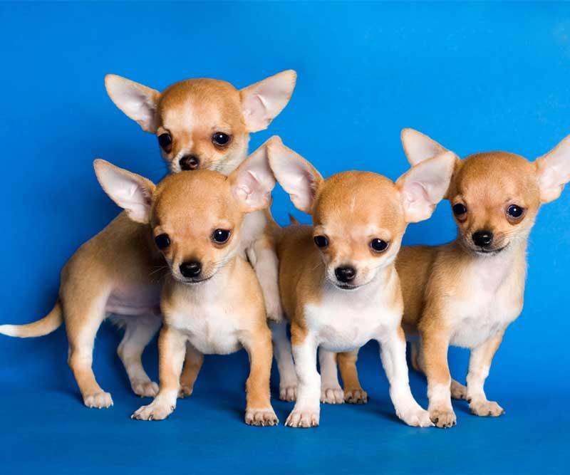 Сколько лет живут собаки? топ-10 пород собак-долгожителей | животные
