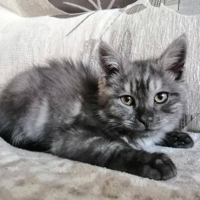 Мейн-кун  фото кошки, история, описание, характер, уход, кормление породы, как назвать, размер и вес