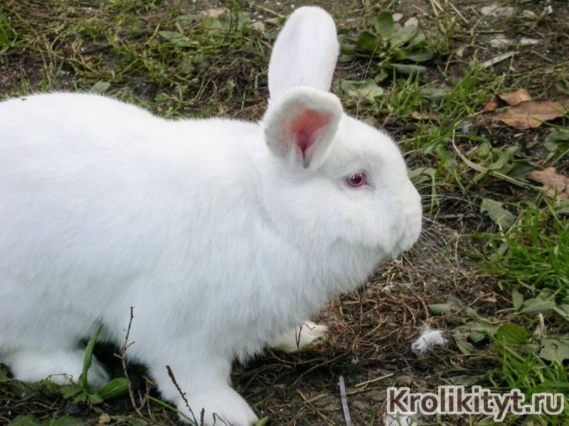 Белые и красные новозеландские кролики: характеристика породы, особенности содержания и разведения