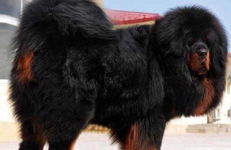 Тибетский мастиф: фото и цена, характер и уход за питомцем
