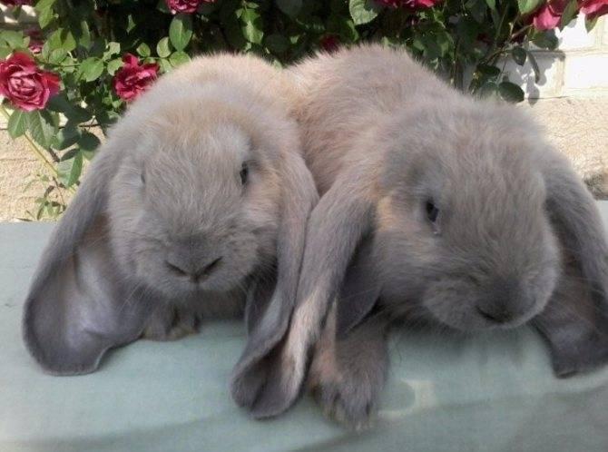 Кролик породы баран — описание и особенности породы