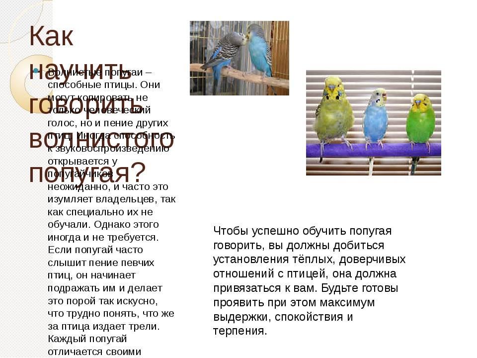 Как научить попугая говорить? — многоточка