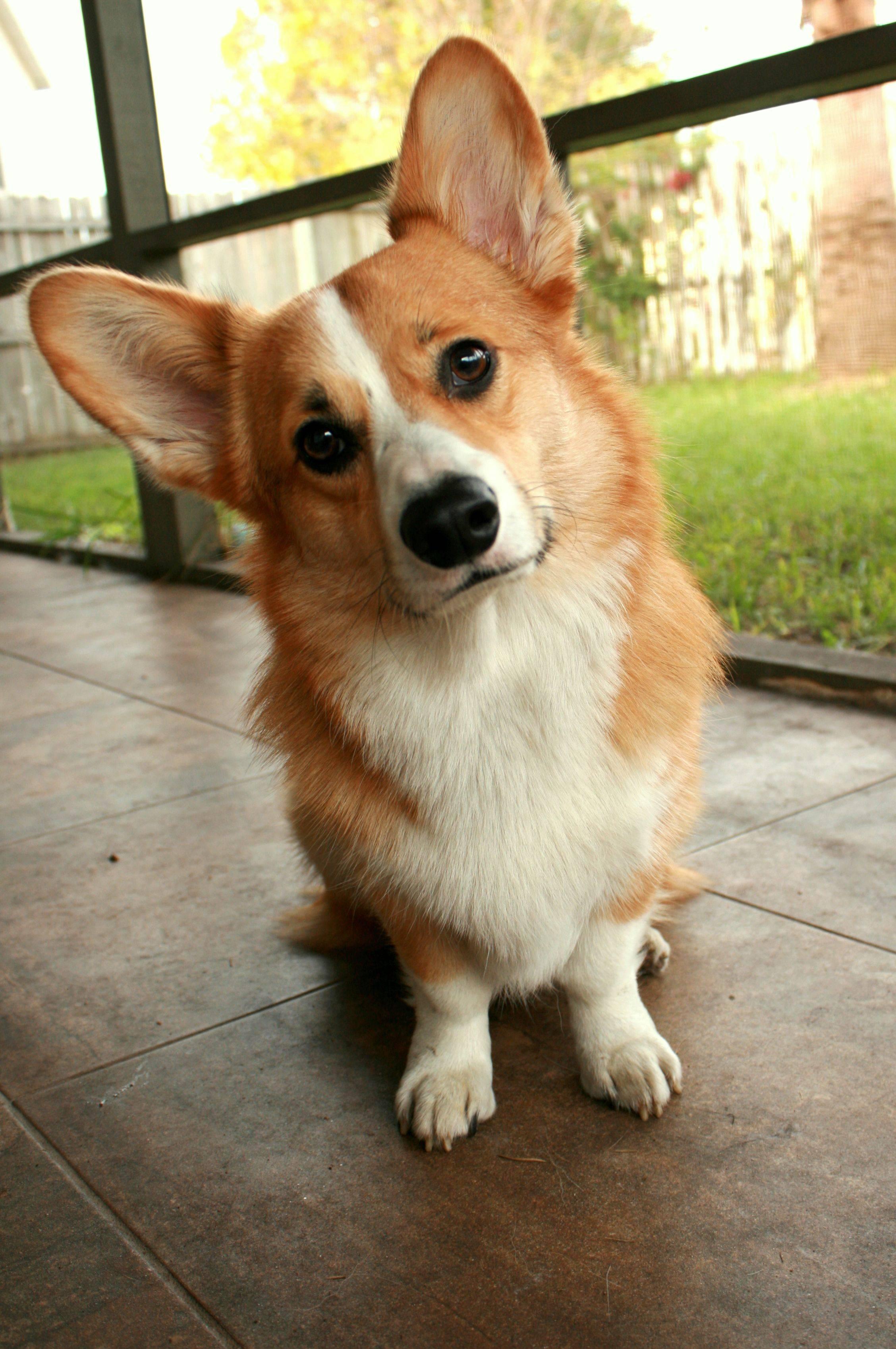 Собака с длинными ушами и грустными глазами: породы