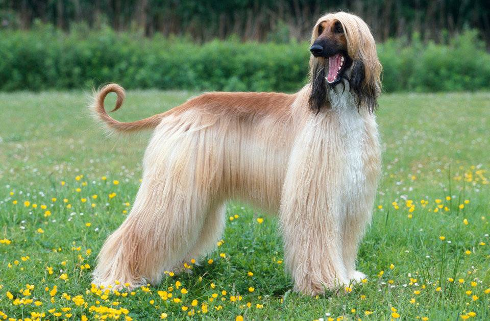 Афганская борзая собака. описание, особенности, виды, характер, уход и цена породы | животный мир