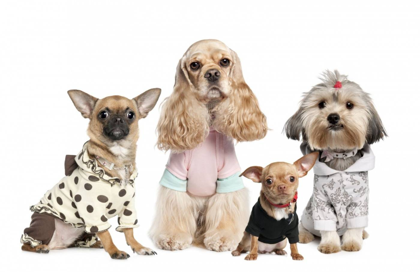 Одежда для маленьких собак: как выбрать, сшить самостоятельно