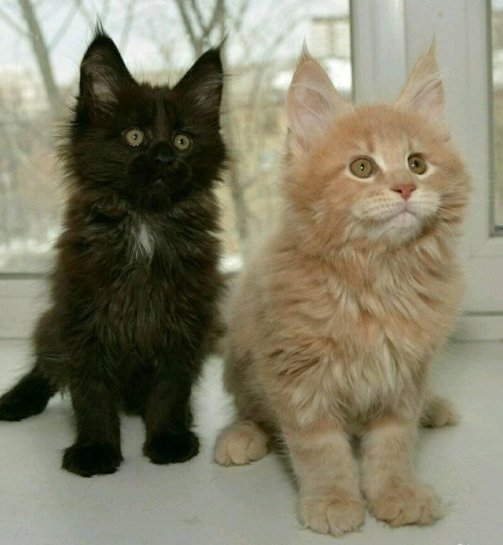 Размеры мейн-кунов – норма роста и веса кошки и кота