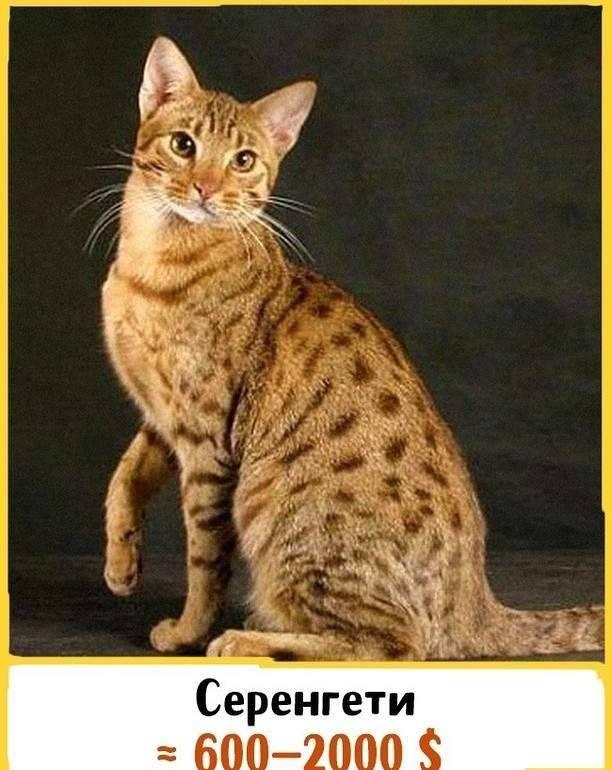 Серенгети: описание и характер кошек, особенности ухода
