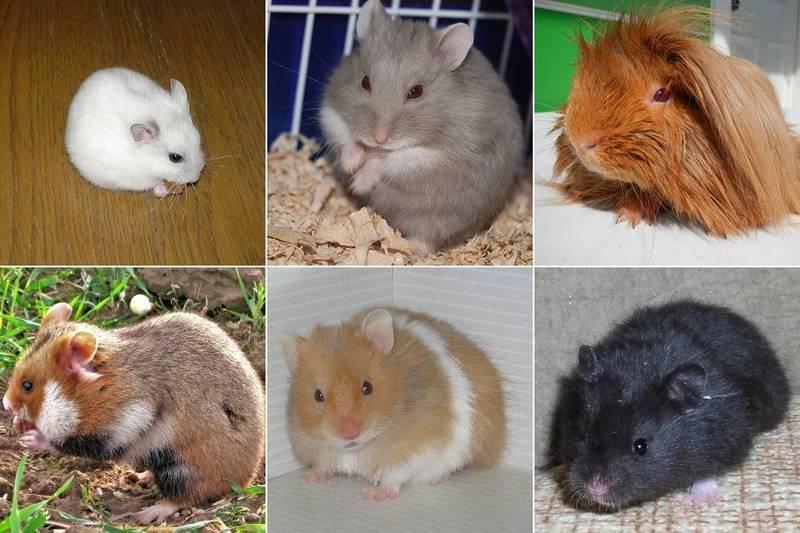 Какие бывают грызуны — подробный список