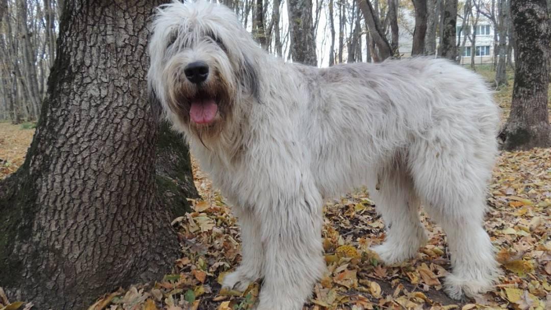 Южнорусская овчарка - фото, характеристика и описание породы