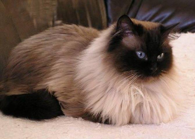 Сиамская кошка – описание характера и внешнего вида породы, цена котенка